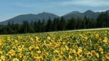 Large Field Of Sunflowers Blowing in Breeze