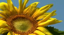 Looking Up At Sunflowers, Blue Sky
