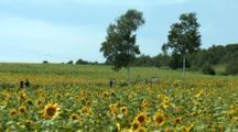 Vast Sunflower Fields