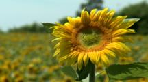 Vast Sunflower Fields, One Bloom Stands Out