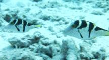 Pair Of Black Saddled Toby On Reef