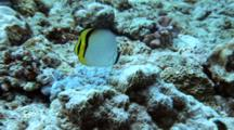 Vagabond Butterflyfish Swims Over Reef