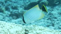 Chevroned Butterflyfish Feeds On Hard Coral
