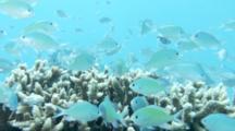 Small Blue Damselfish On Coral Head