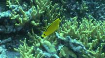 Dotted Butterflyfish (Possibly) Swims Around Reef