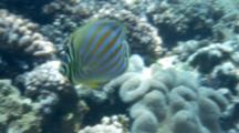 Butterflyfish, Possibly Ornate, Swims Around Reef