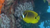 Racoon Butterflyfish Feeds On Reef