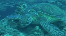 Sea Turtle Feeds While Lying On Reef