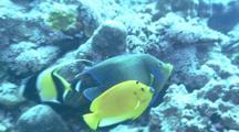Blue Angelfish Swims Around Reef