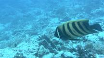 Six-Banded Angelfish Swims Around Reef