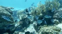 School Of Scissor Tail Sergeant Majors On Reef