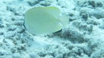 Speckled Butterflyfish Feeds On Reef Bottom