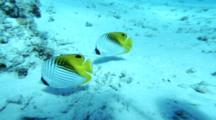 Threadfin Butterflyfish Swim Over Sand
