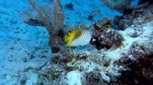 Threadfin Butterflyfish Swim Around The Reef