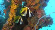 Pair Of Masked Bannerfish On Colorful Reef
