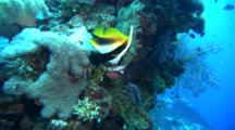 Masked Bannerfish On Reef