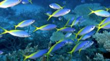 School Of Fish, Possibly Yellow And Blueback Fusilier