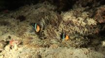 Pair Of Anemonefish In Corkscrew Anemone On Bottom
