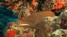 White Mouth Moray Eel Sticks Head Out Of Reef