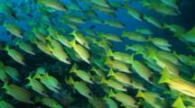 Blue Striped Snapper School On Reef
