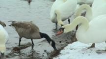 Mute Swans And Other Waterfowl Feed On Lake