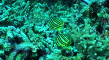 Trio Of Eight-Banded Butterflyfish Swim Over Reef