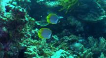 Pair Of Philippine Butterflyfish Swim Over Reef