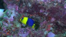 Bicolor Angelfish Swims Around Reef