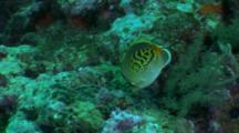 Dot-And-Dash Butterflyfish Feeds On Reef