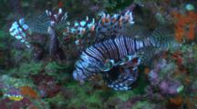 Pair Of Lionfish Hovers Over Reef