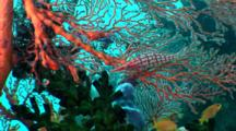 Longnose Hawkfish Rests On Sea Fan