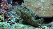 Weedy Scorpionfish Rests On Bottom, Opens Mouth