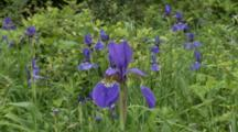 Douglas Irises In Grassy Meadow