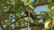 Red Bird In Tree, Probably An Endemic Micronesian Myzomela