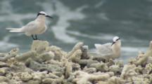 Black-Naped Terns On Coral Rubble Shore
