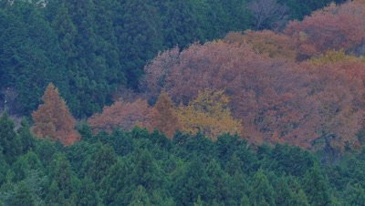Autumn Leaves and Trees, Hakone, Kanagawa, Japan