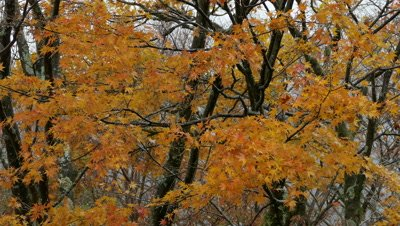 Autumn Maple Leaves and Trees, Hakone, Kanagawa, Japan