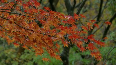 Autumn Maple Leaves, Hakone, Kanagawa, Japan