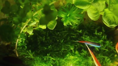 Goldfish Swimming in the Water with Water Plants