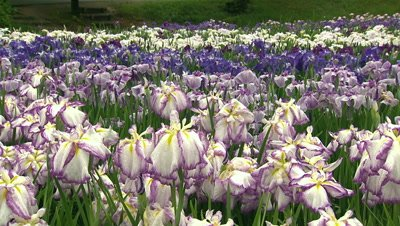 Iris Flowers in Full Bloom