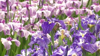Iris Flowers in Full Bloom