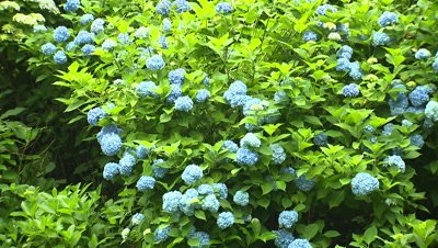 Hydrangea Flowers in Full Bloom
