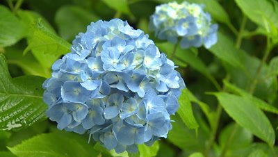 Hydrangea Flowers Swaying in the Wind