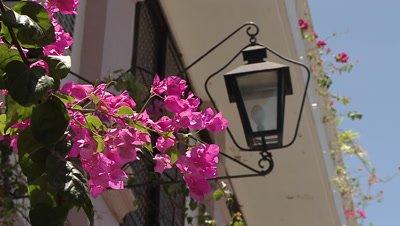 Bougainvillea Flowers Swaying in the Wind