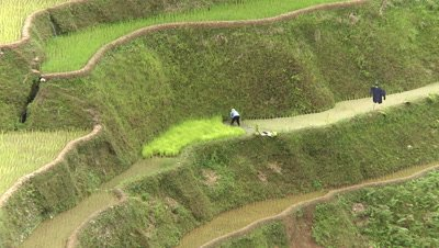 People Working in the Banaue Rice Terraces, Philippines