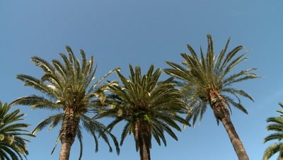 Palm tree swaying in the wind