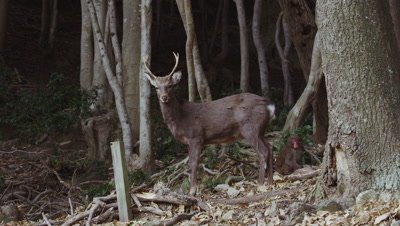 Sika deer and Japanese macaques in Awaji Island