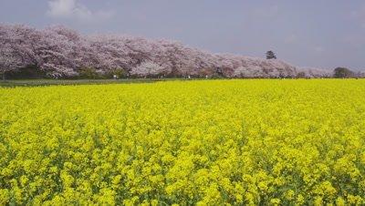 Oilseed rape flowers and cherry blossoms at Gongendo Sakura Tsutsumi