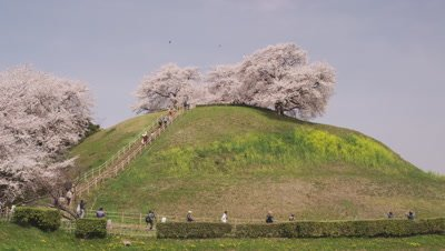 Cherry blossoms in Sakitama Kofun Park