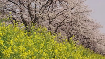 Oilseed rape flowers and cherry blossoms at Aogebori River bank